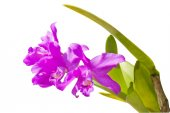 Violet thai orchids on isolate. — Stok fotoğraf