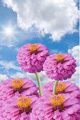 Zinnia and sun on blue sky background — Stock Photo