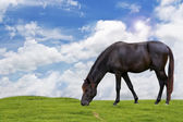 The black horse on grass field. — Stock Photo