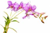 Thai orchid flowers. — Stock Photo