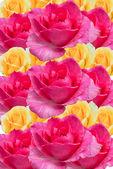 Rose background. — Stock Photo