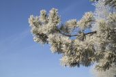 Beautiful snow-covered pine branch against the blue sky — Stock Photo
