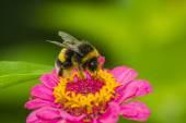 čmelák na květ — Stock fotografie