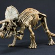 Triceratops fossil dinosaur skeleton model toy — Stock Photo #64293557