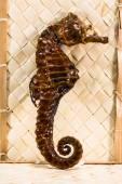 Real brown stuffed sea horse — Stock Photo