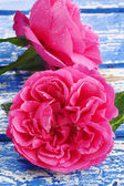Pink rose with waterdrops — Stock Photo