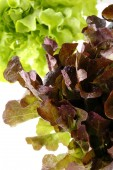 Fresh green and red oak lettuce — Stock Photo