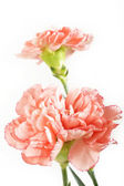 Orange carnation flowers on white  — Stock Photo