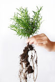 Rosemary growing  — Stock Photo