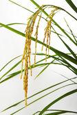 Paddy rice  on white — Stock Photo