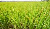 Rice field plantation green — Стоковое фото