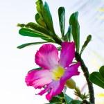 Pink Desert Rose or Impala Lily or Mock Azalea flower — Stock Photo #57043641