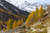Autumn colors forest and snow mountain peaks in Swiss Alps — Stock Photo