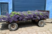 Vintage pushcart with bunches of purple lavender — Stock Photo