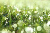 Glistening Morning Dew On Grass — Stock Photo