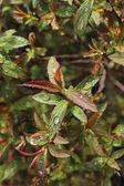 Raindrops Multiple Leaves — Stock Photo