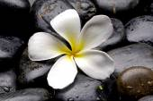 Frangipani flower — Stock Photo