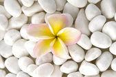 Frangipani çiçek — Stok fotoğraf