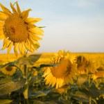 One sharp sunflower — Stock Photo #53956249