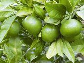 Four green tangerines in focus — Stock Photo