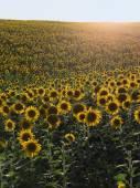 Field of sunflowers. Hilly terrain. Solar backlight. — Stock Photo