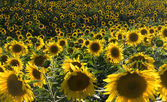 Plurality of sunflowers in the field. Sunset time. — Stock Photo