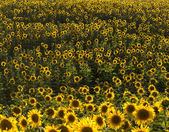 Plurality of sunflowers in the field. Natural background. — Stock Photo
