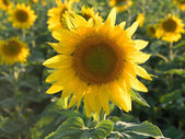 One sharp sunflower on the background of the set. — Stock Photo