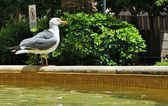 A seagull perched on the source of a place in the streets of Ceuta — Foto de Stock