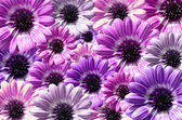Purple background created from daisy flower bloom — Stock Photo