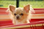 Head of chihuahuas peeping out from hammock — Stock Photo