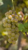 Sweet grapes — Stock Photo