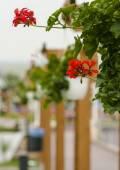 Nice floral decoration (Pelargonium) — Stock fotografie