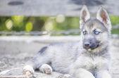 Portrait of husky outside — Foto Stock