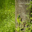 Two green lizards on a tree bark — Stock Photo #67004553