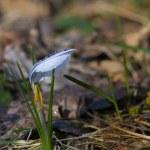 Étoile tulipe - tulipa turkestanica — Photo #67795367