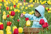 Adorable toddler girl gathering tulips — Stock Photo
