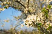 Wax cherry flowers in bloom — Stock Photo
