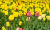 Field of yellow and red tulips — Stock Photo