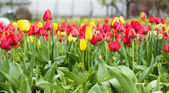 Field of beautiful yellow and red tulips — Stock Photo