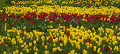 Beautiful field of colored tulips — Stock Photo