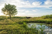 Cow on green grass and evening sky — Stock Photo