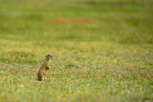 Cute European ground squirrel on field (Spermophilus citellus) — Stock Photo