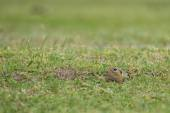 Prairie dog on field in summer — Stock Photo