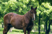 Brown stallion — Stock Photo