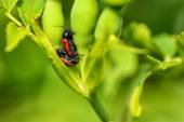 Two red bugs mating — Stock Photo