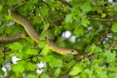 Snake in the tree — Stock Photo