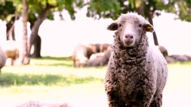 Close up of sheep Head Chewing, Sheep on Meadow, Field, Farming — Stock Video