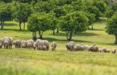Flock of sheep on green grass — Stock Photo