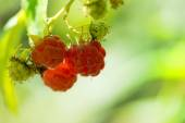 Close-up of the ripe raspberry in the fruit garden — Stock Photo